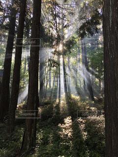 森の朝の写真・画像素材[3339480]