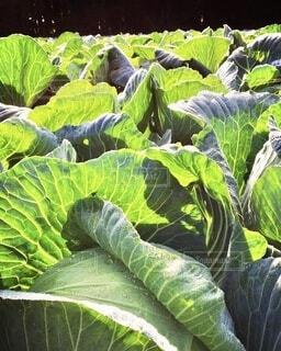 食べ物,緑,葉,野菜,食品,食材,フレッシュ,ベジタブル,キャベツ畑