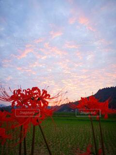 夕日とヒガンバナの写真・画像素材[3756770]