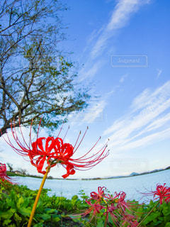 空,花,秋,湖,雲,青空,水辺,彼岸花,ヒガンバナ,秋空,湖岸