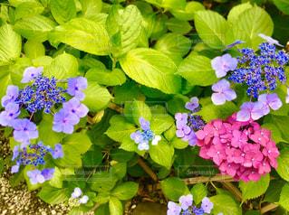 紫陽花の写真・画像素材[3263643]