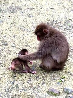 猿,動物,屋外,親子,手持ち,人物,赤ちゃん,地面,ポートレート,ライフスタイル,手元