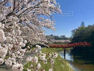 川沿いの桜の写真・画像素材[4271483]