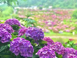 紫陽花の写真・画像素材[4464537]
