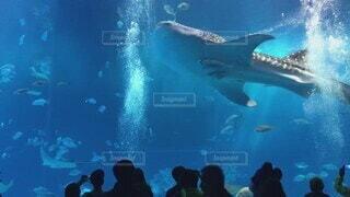 魚,イルカ,水,水族館,水面,葉,泳ぐ,人物,水中,人,サメ,水槽,ジンベイザメ,海獣