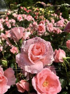 雨上がりのピンクローズの写真・画像素材[3261137]