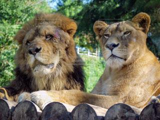 ライオンのペアの写真・画像素材[3265655]