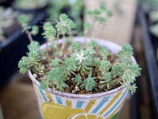 多肉植物の花の写真・画像素材[3289906]