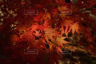 赤いもみじ - No.870371