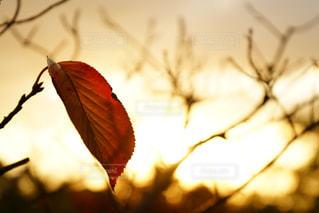 夕焼けに染まる葉っぱの写真・画像素材[964030]