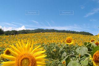 黄色の花の写真・画像素材[1224374]