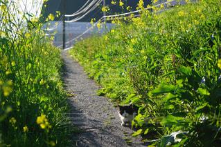 猫,自然,春,屋外,散歩,菜の花,お散歩,ライフスタイル,おでかけ