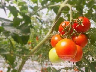 食べ物,トマト,野菜,ミニトマト,食品,食材,フレッシュ,ベジタブル,ビニールハウス,トマト狩り