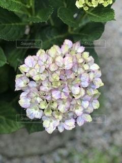 紫陽花の写真・画像素材[3384870]