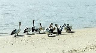 水の体の隣に立っているペリカンの群れの写真・画像素材[3286925]