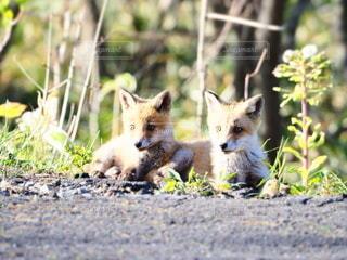 草の中を歩いているキツネの写真・画像素材[3280863]