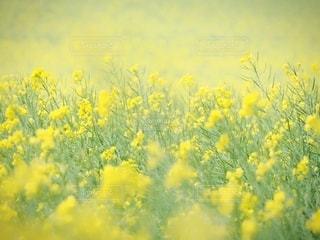 菜の花畑の写真・画像素材[3405877]