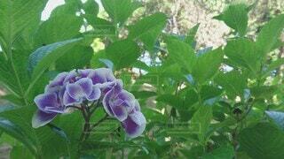 夏,森林,鳥,紫,紫陽花,風,涼しげ,囀り