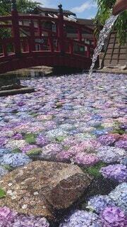 花,屋外,池,紫陽花,涼,浮き紫陽花