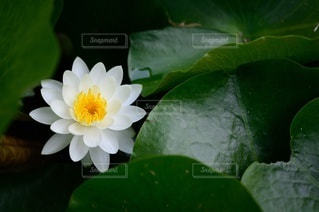 睡蓮のクローズアップの写真・画像素材[3279218]