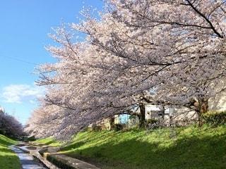桜と青空の写真・画像素材[3283281]