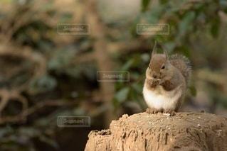 エサを食べるリスの写真・画像素材[3286057]