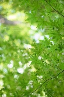新緑のもみじの写真・画像素材[3286090]