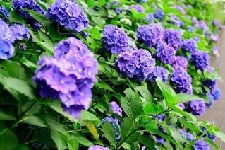 植物の紫色の花のクローズアップの写真・画像素材[3357746]