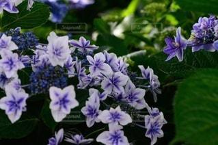 紫陽花の写真・画像素材[3389593]