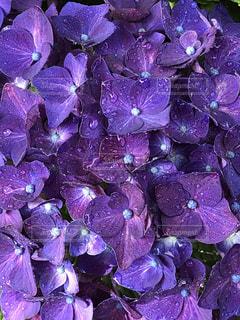紫色の花のクローズアップの写真・画像素材[3389613]