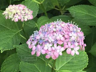 紫陽花の写真・画像素材[3392681]