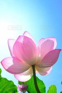 ハスの花の写真・画像素材[3586482]
