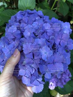 花,紫,景色,手持ち,紫陽花,人物,ポートレート,ライフスタイル,草木,手元,アジサイ