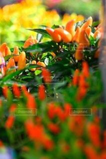 食べ物,花,鮮やか,オレンジ,色とりどり,野菜,ビタミンカラー,食品,カラー,唐辛子,食材,草木,トウガラシ,フレッシュ,ベジタブル