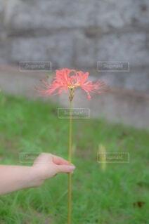 彼岸花の写真・画像素材[3689377]
