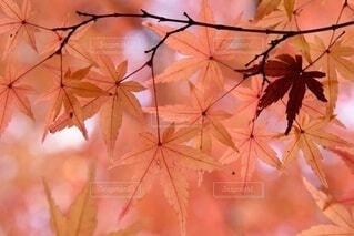ピンクの花を持つ木の写真・画像素材[3717203]