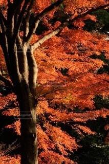 木から葉を食べるキリンのクローズアップの写真・画像素材[3800397]