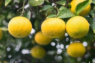 枝に座っている2つのオレンジの写真・画像素材[3906888]