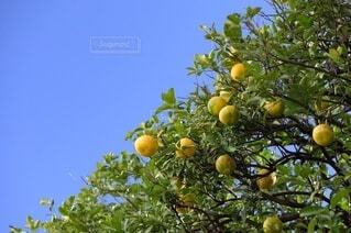 木からぶら下がっているりんごの写真・画像素材[3913704]