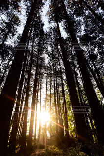 森の中の大きな木の写真・画像素材[4415203]