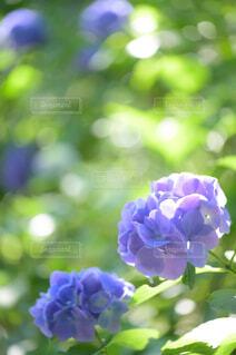 紫色の花のクローズアップの写真・画像素材[4556751]
