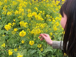 菜の花と女の子の写真・画像素材[4311556]