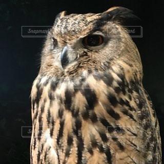 フクロウのクローズアップの写真・画像素材[3271491]