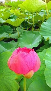 蓮の花の写真・画像素材[3366450]