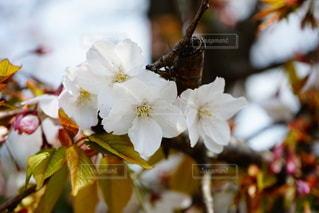桜の花のクローズアップの写真・画像素材[3273324]