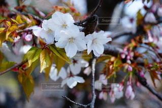桜の花の写真・画像素材[3273325]