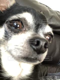 愛犬ギンとお家時間の写真・画像素材[3374436]