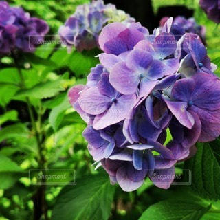 植物の紫色の花のクローズアップの写真・画像素材[3395925]