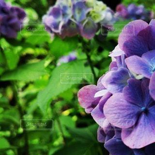 紫色の花のクローズアップの写真・画像素材[3395927]