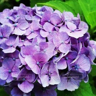 紫色の花のクローズアップの写真・画像素材[3395926]
